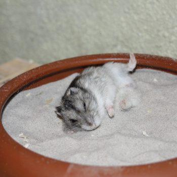 im Sand badender Hamster