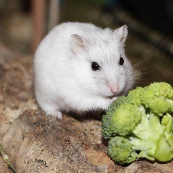 Hybride mit Brokkoli