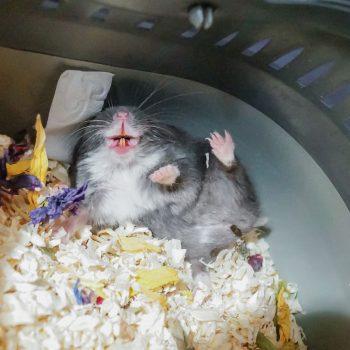 gestresster Hamster in Abwehrhaltung