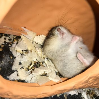 schlafender Hamster