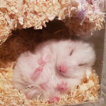 schlafender Hamster im Nest
